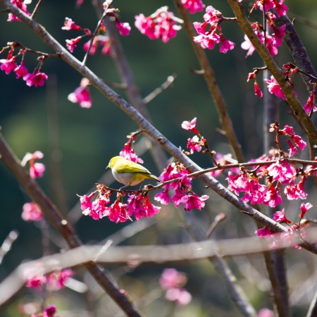 oriental white-eye bird on Wild Himalayan Cherry tree in Thailand photo
