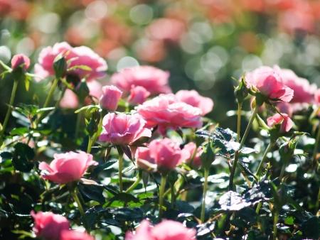 buisson: roses dans le jardin