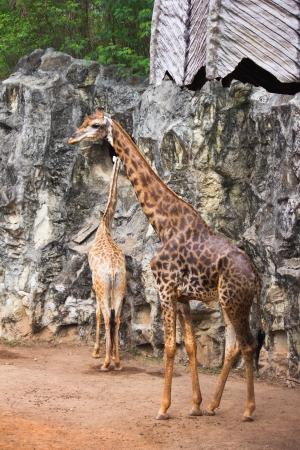 giraffe eating photo