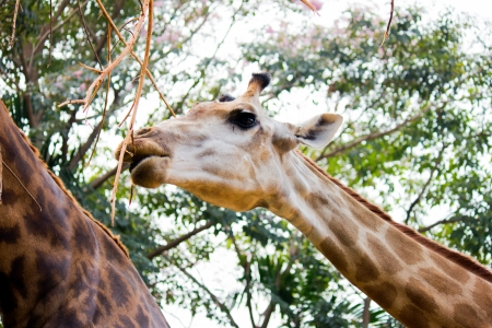 giraffe eating Stock Photo - 17899535