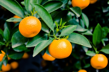chinese culture: mandarin oranges
