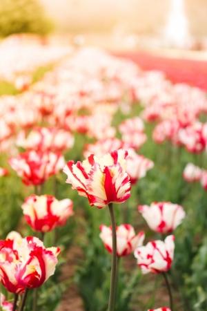 kashmir: tulip field in kashmir, india