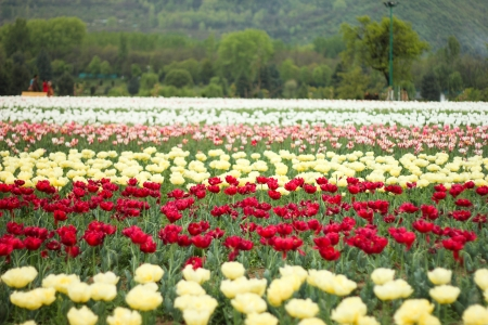 kashmir: tulip field in kashmir, india