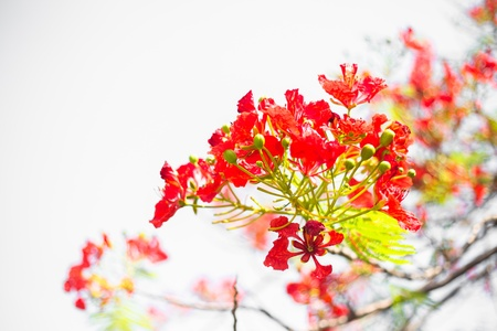flamboyant: peacock flowers isolated on white background