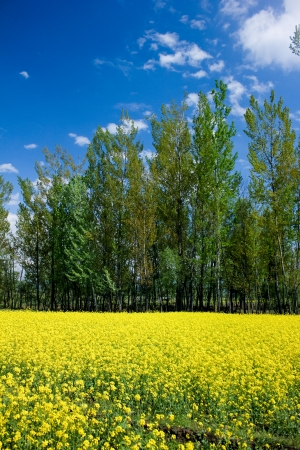 kashmir: mustard field, kashmir,india Stock Photo