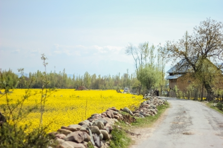mustard field, kashmir,india Stock Photo