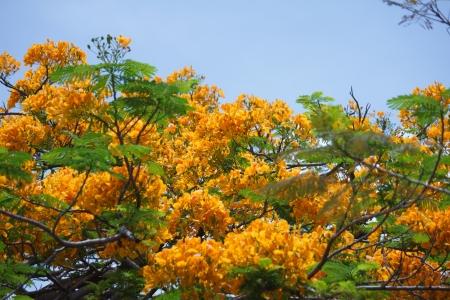 flamboyant: geel Flamboyant, Pauw Bloem, Royal Poinciana bloem