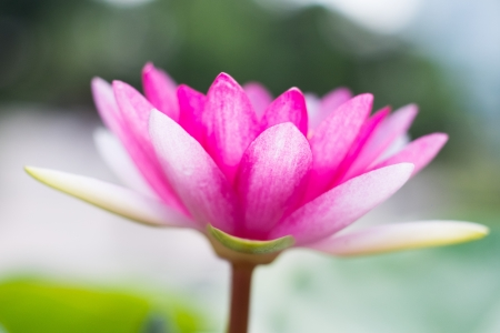 pink lotus with shallow depth of field photo