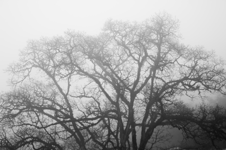 Dead Tree without Leaves in mist-black and white photo photo
