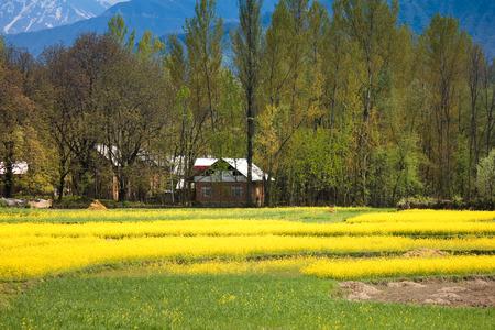 seed bed: yellow mustard flower field in srinagar, jammu, kashmir, india Stock Photo