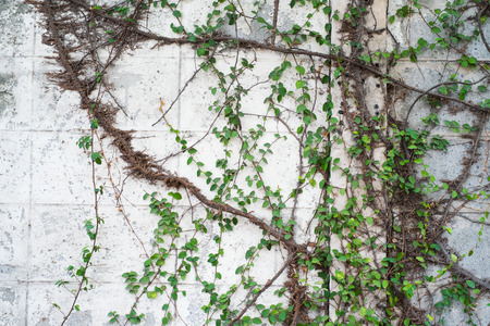 climbing green ivy on the weathered white wall