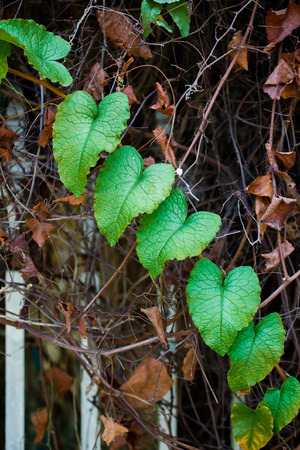 green heart shape ivy leaves with dried brown in background photo