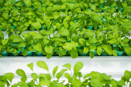 roquette: roquette vegetable hydroponics