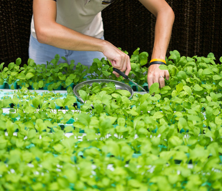 roquette: hands picking roquette vegetables in hydroponic farm