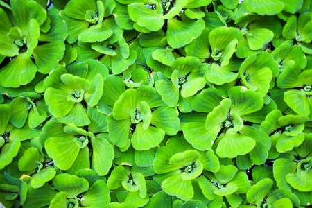 background of Pistia stratiotes Linn.-water plant
