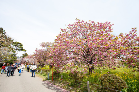 recognized: HOKKAIDO, JAPAN - MAY 3, 2015: Unidentified tourists enjoy the spring sakura cherry blossoms at Matsumae Castle which  officially recognized as one of the best cherry blossom viewing spots in Japan.