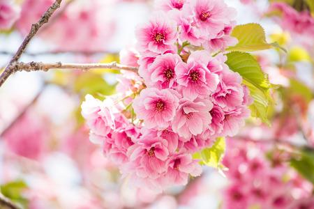 flor de sakura: close up de flor rosa flor de cerezo en flor en Hokkaido, Japón Foto de archivo