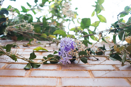 petrea volubilis: Climbing Purple Wreath flower blooming over red brick wall background