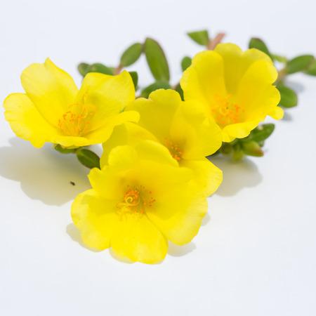 closeup of yellow Common Purslane flowers on white background