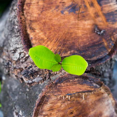 emerge: green young little tree emerge from wood stump - concept of hope and rebirth