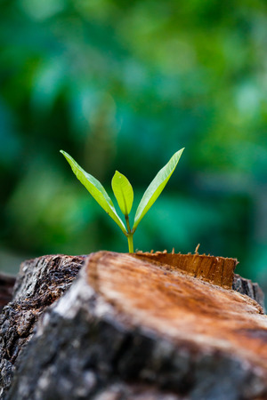 reborn: green young little tree emerge from wood stump - concept of hope and rebirth