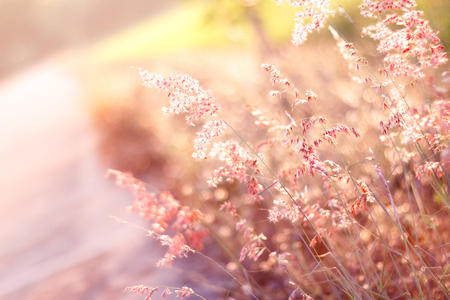 natal: warm tone and blurry abstract background of Red Natal grass (Melinis repens)