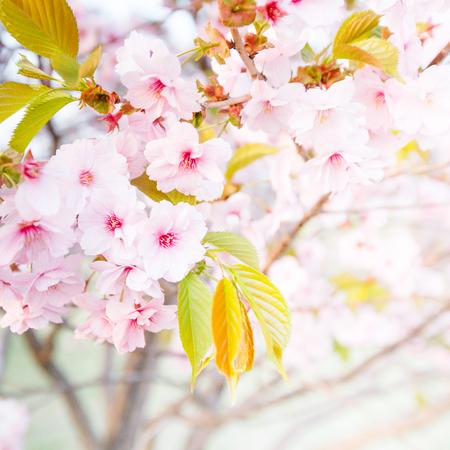 fleur de cerisier: fermer plan de rose fleur de cerisier sakura-fleur Banque d'images