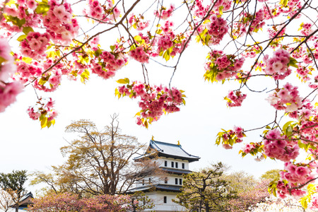 recognized: Spring sakura cherry blossoms at Matsumae Castle which officially recognized as one of the best cherry blossom viewing spots in Hokkaido, Japan Editorial