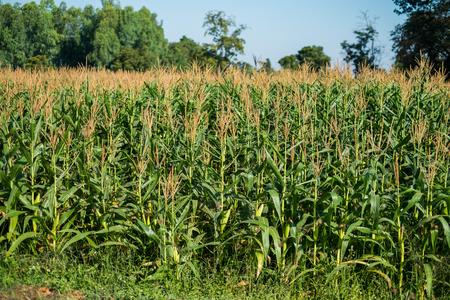 corn flower: corn field with corn flower blooming Stock Photo