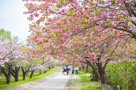 recognized: Spring sakura cherry blossoms at Matsumae Garden which officially recognized as one of the best cherry blossom viewing spots in Hokkaido, Japan