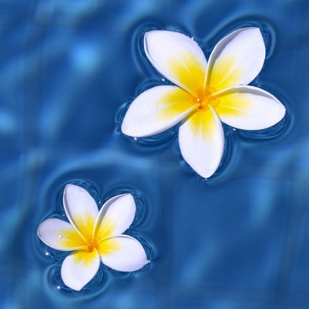two frangipani flowers floating on blue water
