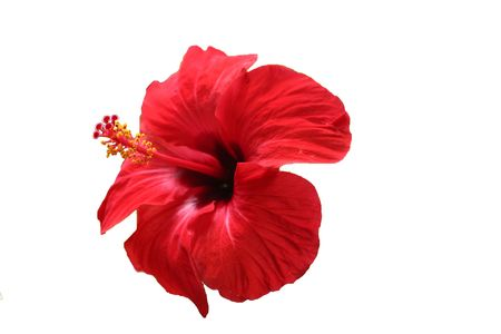 deep red hibiscus isolated in white background   photo