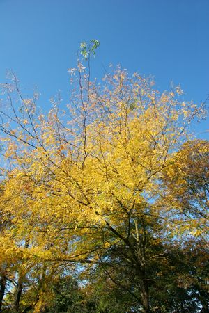 autumn shot of yellow drying leaves on blue sky background photo
