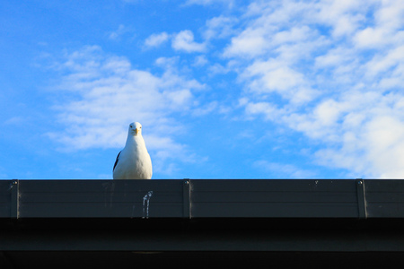 Seagull/gull/seabird is watching down from the New zealand roof in cloudy, sunny, summer day.