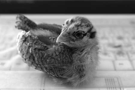 Little Chicken on laptop