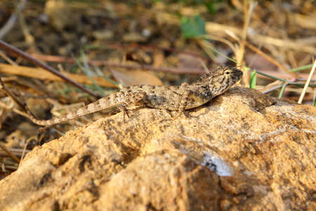 Brown Lizard on the rock