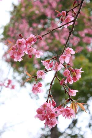 Pink Blossom at Chiangmai Thailand