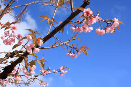 Pink blossom and blue sky Stock Photo