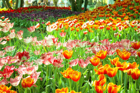 Colorful tulip in Chiangrai,Thailand Stock Photo