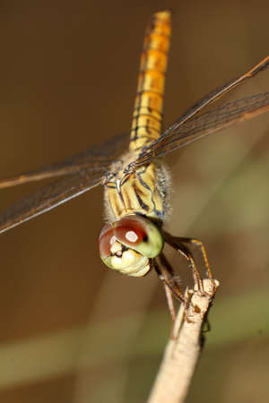 Smiley dragonfly