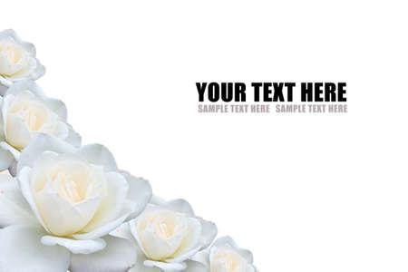 White Rose Background Stock Photo - 11889786