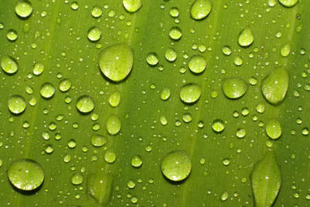 Water drops on green banana leaf Stock Photo - 12698232