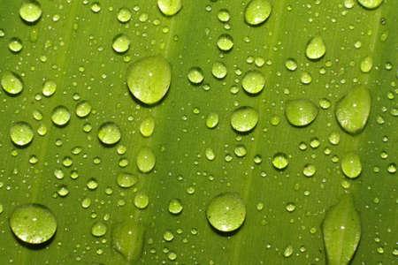 Water drops on green banana leaf photo
