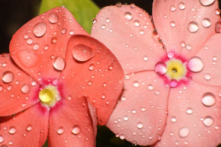 Drops of water on tropical flower