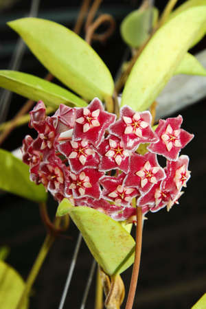 Red Hoya flower macro