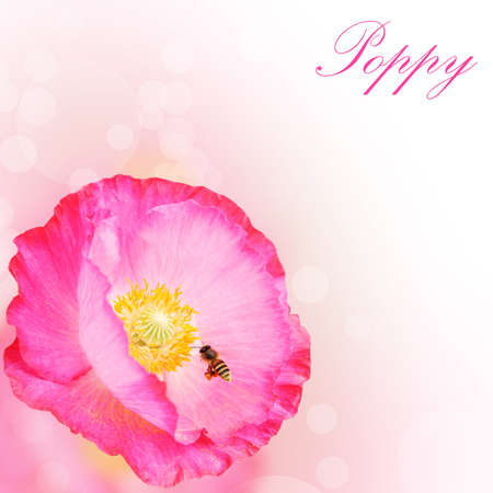 Pink Poppies flower background Stock Photo - 13895576