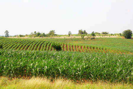 Landscape of corn field  photo