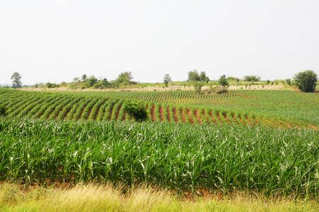 Landscape of corn field Stock Photo - 13895583