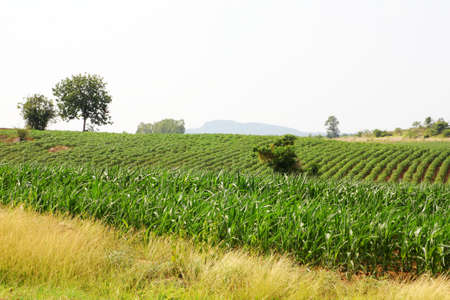 Landscape of corn field Stock Photo - 13895582