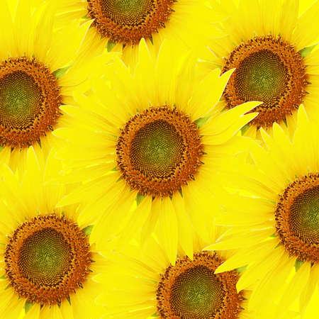 Brush painting  sunflowers background Stock Photo - 14033763
